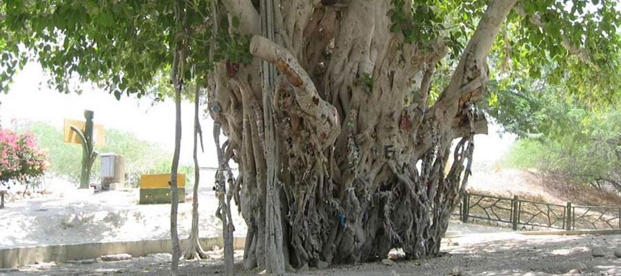 درخت لور جزیره کیش