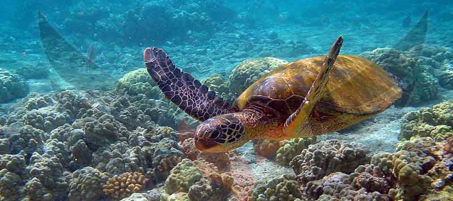 لاک پشت های دریایی جزیره کیش